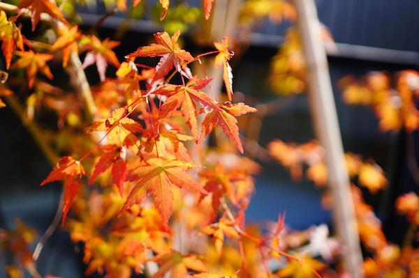 花壇ヤマモミジ紅葉