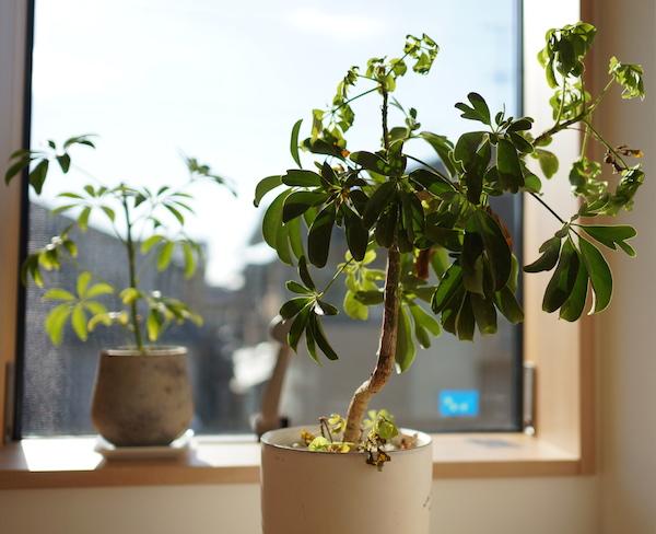 サーモス断熱窓で観葉植物が冬越しできた!?ガラス傍でも大丈夫