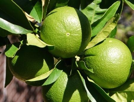 クエン酸の果物