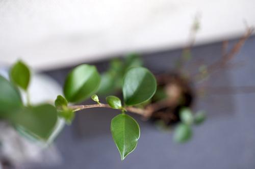 ガジュマルの葉
