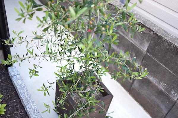 オリーブ殺虫剤アオムシ