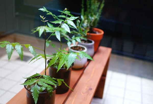 ミラクルニームの木の虫除け効果に期待!!育て方に難あり?